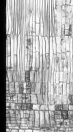 ASTERACEAE Vernonia arborea