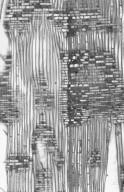 BETULACEAE Ostrya japonica