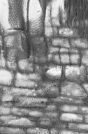 CORYNOCARPACEAE Corynocarpus cribbianus