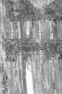 CUNONIACEAE Pseudoweinmannia lachnocarpa