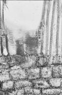 DILLENIACEAE Hibbertia lucens