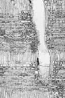 DIPTEROCARPACEAE Dryobalanops sumatrensis