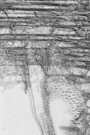 DIPTEROCARPACEAE Hopea acuminata