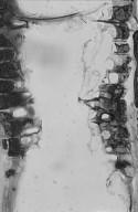 DIPTEROCARPACEAE Shorea palosapis