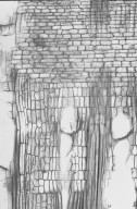 ELAEOCARPACEAE Sloanea woollsii