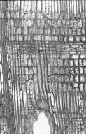 EUPHORBIACEAE Endospermum diadenum