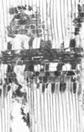 PHYLLANTHACEAE Glochidion philippicum