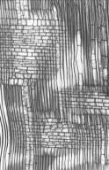 EUPHORBIACEAE Manihot glaziovii