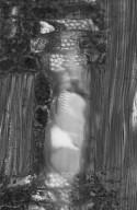 EUPHORBIACEAE Spirostachys africana
