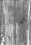 FAGACEAE Quercus dentata