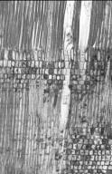 ACHARIACEAE Carpotroche grandiflora