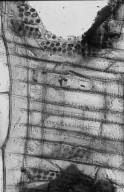 JUGLANDACEAE Juglans neotropica