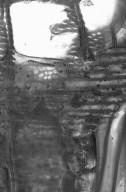 JUGLANDACEAE Juglans ailanthifolia