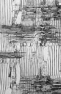 LAURACEAE Cryptocarya invasiorum