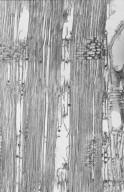 LEGUMINOSAE CAESALPINIOIDEAE Afzelia quanzensis