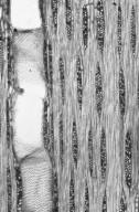 LEGUMINOSAE DIALIOIDEAE Dialium indum