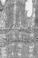 LEGUMINOSAE CAESALPINIOIDEAE Maniltoa browneoides