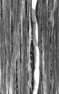 LEGUMINOSAE CAESALPINIOIDEAE Peltogyne paniculata