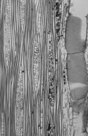 LEGUMINOSAE CAESALPINIOIDEAE Prioria copaifera