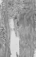LAURACEAE Chlorocardium rodiei