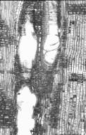 LYTHRACEAE Lagerstroemia hypoleuca