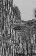 LEGUMINOSAE MIMOSOIDEAE Albizia procera