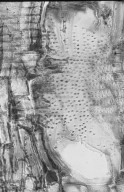 LEGUMINOSAE MIMOSOIDEAE Marmaroxylon racemosum