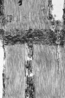 LEGUMINOSAE MIMOSOIDEAE Parapiptadenia rigida
