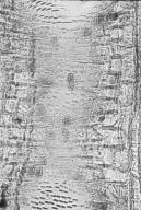 LEGUMINOSAE PAPILIONOIDEAE Dalbergia stevensonii