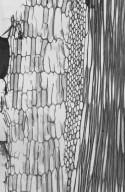 LEGUMINOSAE PAPILIONOIDEAE Erythrina variegata