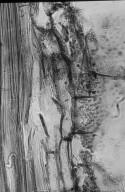 LEGUMINOSAE PAPILIONOIDEAE Vatairea guianensis