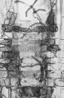 MELIACEAE Aphanamixis polystachya