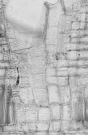 MELIACEAE Azadirachta indica