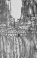 MORACEAE Antiaris toxicaria