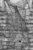 MORACEAE Artocarpus lanceifolius