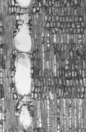 MYRTACEAE Calyptranthes sintenisii