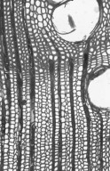 MYRTACEAE Eucalyptus pilularis