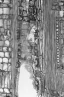 ANISOPHYLLEACEAE Combretocarpus rotundatus