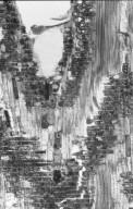 CHRYSOBALANACEAE Maranthes corymbosa
