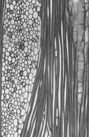 PROTEACEAE Cardwellia sublimis