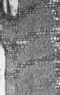ACANTHACEAE Avicennia alba