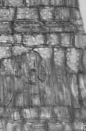 ACANTHACEAE Avicennia marina