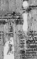 LYTHRACEAE Sonneratia alba