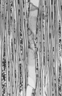 MALVACEAE BYTTNERIOIDEAE Commersonia bartramia
