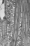 MALVACEAE STERCULIOIDEAE Pterocymbium beccarii