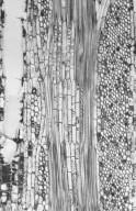 MALVACEAE STERCULIOIDEAE Sterculia rhinopetala