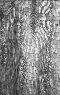 LEGUMINOSAE PAPILIONOIDEAE Erythrina abyssinica