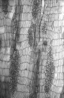 LEGUMINOSAE PAPILIONOIDEAE Erythrina falcata