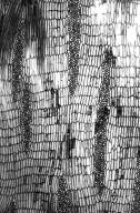 LEGUMINOSAE PAPILIONOIDEAE Erythrina fusca