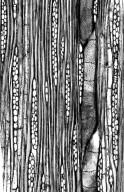 EUPHORBIACEAE Borneodendron aenigmaticum
